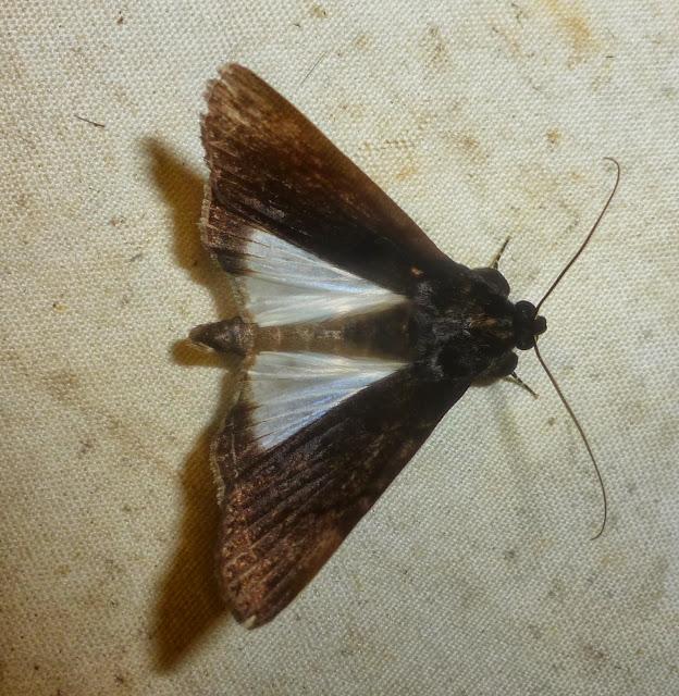 Erebinae : Audea agrotidae (MABILLE, 1880), endémique. Mananara Lodge, Anjozorobe (Madagascar), 7 janvier 2014. Photo : T. Laugier