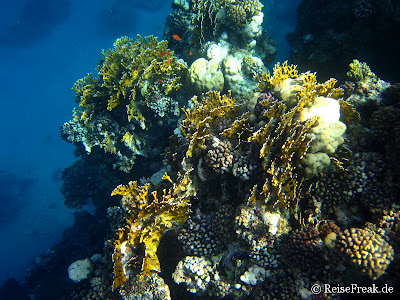 019 Ägypten Dez 2014 - Marsa Alam - Coraya Bay IMG_0309