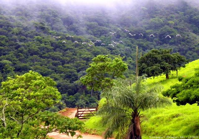 Vol de hérons. Pitangui (MG, Brésil), 26 décembre 2010. Photo : Nicodemos Rosa