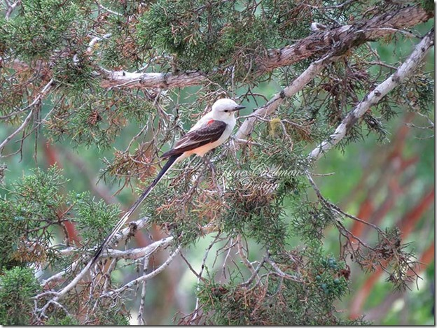 Scissor-tailed_Flycatcher