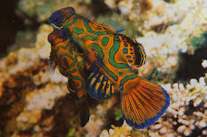 Mandarin fish mating - Bunaken