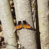 Question Mark (Polygonia interrogationis) - an anglewing butterfly