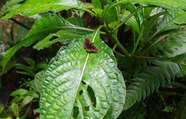 Pachyneuria sp. [probablement licisca (Plötz, 1882)]. Bosque Bavaria (Villavicencio, Meta, Colombie), 9 novembre 2015. Photo : J.-M. Gayman