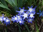 Spring azure blue