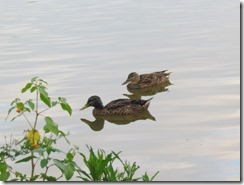 Mallards on Lake Junaluska