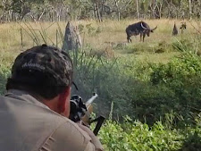 Mr Gilbert Narvaez has just belted this big bull in the shoulder. You can see the immediate effect of a well placed shot. The bull drops his head and lifts his shoulder where he has been hit.