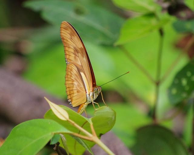 Dryas iulia alcionea CRAMER, 1779. Patawa (Montagne de Kaw), 24 octobre 2012. Photo : J.-M. Gayman