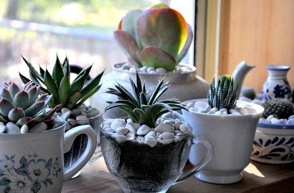 suculentas plantadas em xícaras