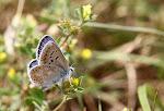 Hvidrandet blåfugl, han - dorylas7.jpg