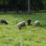 Bosquet sud : moutons
