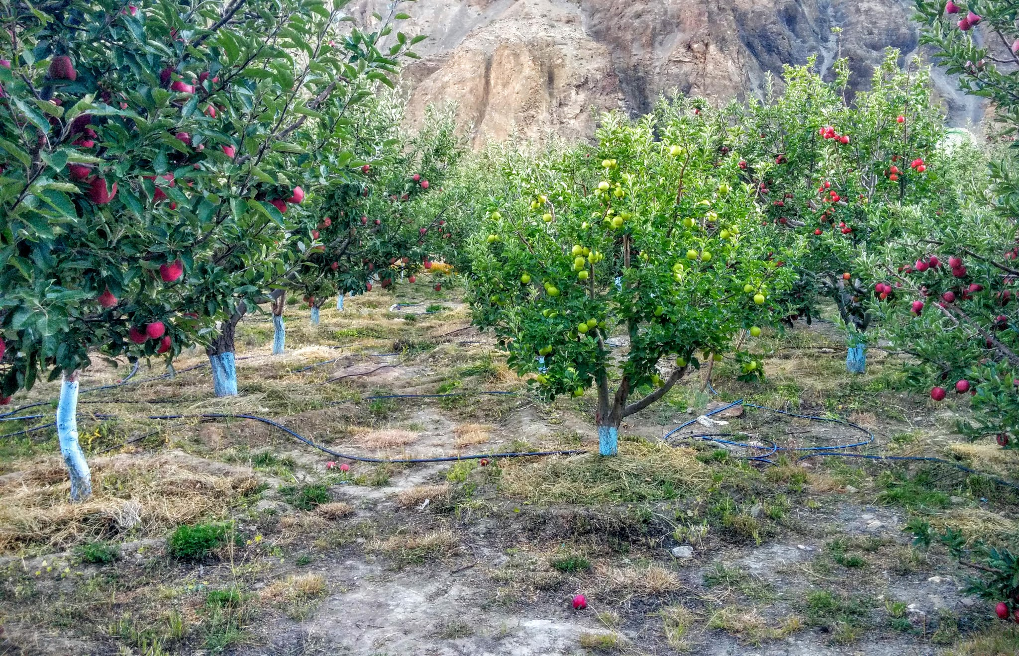 Inside an apple orchard at Tabo, Himachal Pradesh