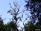 Flughunde im Royal Botanic Garden...tausende!