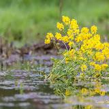 Сурепка обыкновенная (Barbarea vulgaris)
