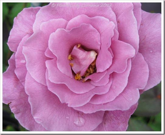 05-21-lav-rose2