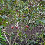 """Plantation de """"tomates en arbre"""" ou tamarillo (Solanaceae : Solanum betaceum). Au Nord de Cuellaje, 2000 m (Imbabura, Équateur), 10 décembre 2013. Photo : J.-M. Gayman"""