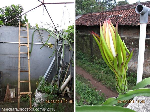 bunga buah naga 02