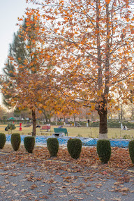 This giant Chinar tree was an attention seeker, Comsats University