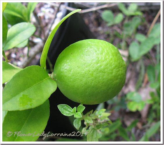 08-23-mex-key-lime