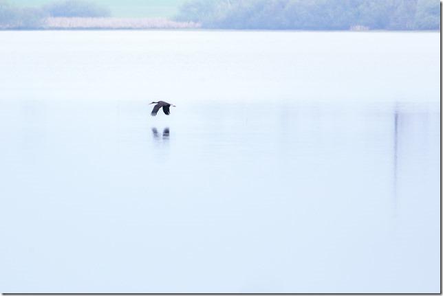 Volavka letící nad rybníkem