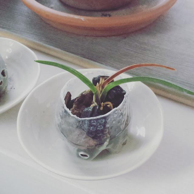 Identification Orchidée naine + coup de main IMG_20150915_194116