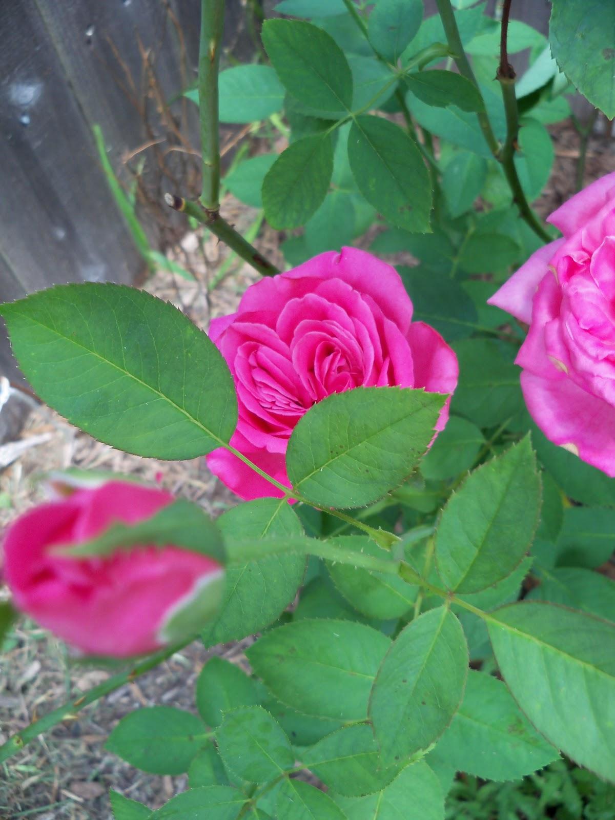 Gardening 2010, Part Three - 101_4878.JPG