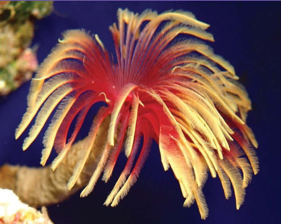 Image: A gorgeous feather duster the author found at a shop in Japan feather duster worms consume fine particles and can be difficult to feed in the aquarium