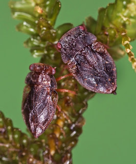 Xenophysella stewartensis (Hemiptera: Peloridiidae). Live individuals collected by V Hartung, photographed by E Wachmann.Citation: Larivière M-C, Burckhardt D, Larochelle A. 2011. Peloridiidae (Insecta: Hemiptera: Coleorrhyncha). Fauna of New Zealand 67. 78 pp. http://www.biotaxa.org/fnz/issue/view/431