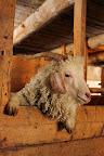 OUI BONJOUR !?La chèvre angora est une race caprine originaire d'Asie