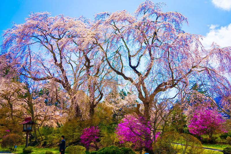 富士ビューホテル 桜 写真3