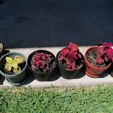 Gardening 2010, Part Three - 101_4483.JPG
