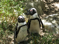Penguins on Boulders Beach - Cape Peninsula, South Africa
