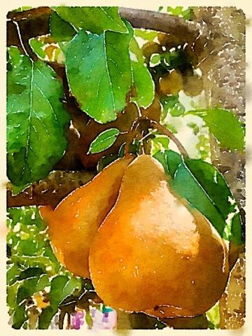 Sweet glorious pears