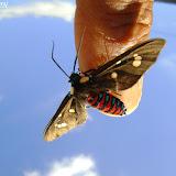 Erebidae : Arctiinae : Ctenuchini : Euclera rubricincta (BURMEISTER, 1878). 19 mai 2009. Photo : Nicodemos Rosa