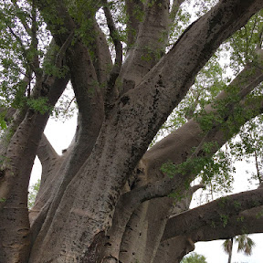 Grote baobab boom in Victoria Falls NP