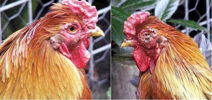 Bệnh đậu gà và cách phòng trị - 567b8f45a3d5c