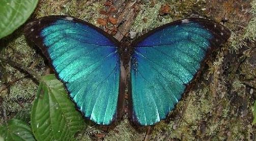 Morpho melenaus LINNAEUS, 1758. Cristalino Jungle Lodge