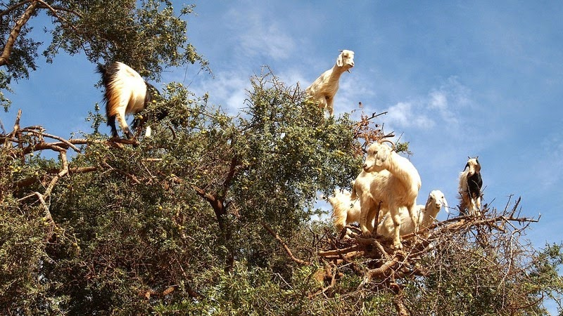 goats-argan-trees-4