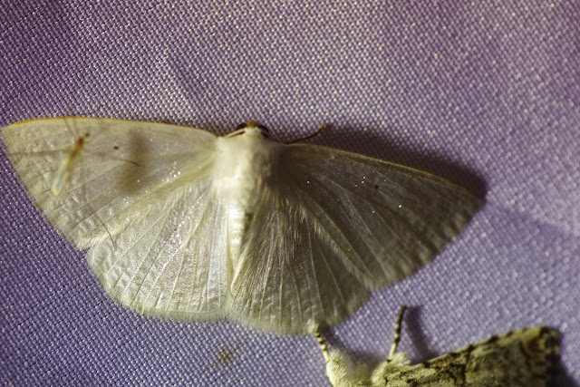 Lomographa argentata Schaus, 1911. Mount Totumas, 1900 m (Chiriquí, Panamá), 23 octobre 2014. Photo : J.-M. Gayman