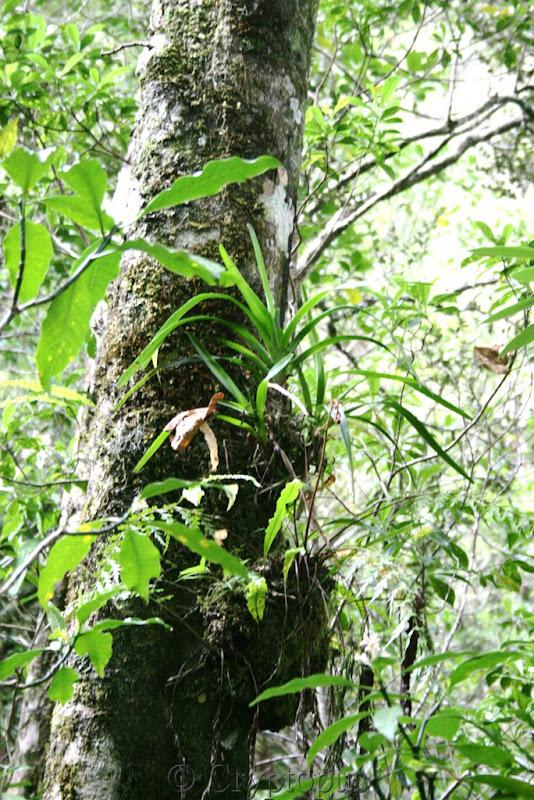 Orchidées in situ, sur l'ile de la Réunion IMG_2136