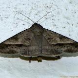 Noctuidae : Catocalinae : probablement Celiptera thericles, SCHAUS, 1913. Pitangui (MG, Brésil), 30 avril 2011. Photo : Nicodemos Rosa