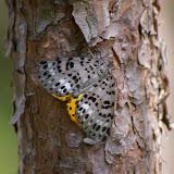 Arctiidae ? Xizhou, 2000 m (Yunnan), 6 août 2010. Photo : J.-M. Gayman