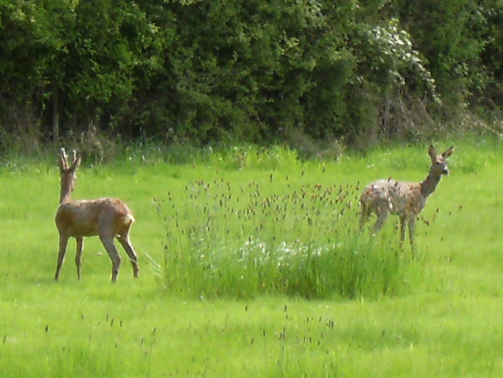 1005120044 Roe deer