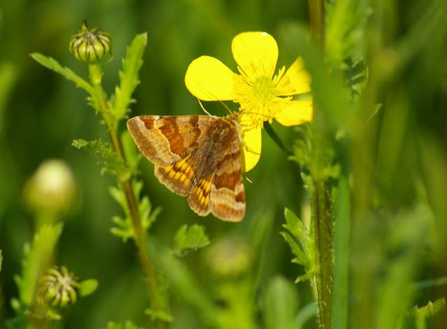 Noctuidae : Catocalinae : Euclidia glyphica (LINNAEUS, 1758). Hautes-Lisières (Rouvres, 28), 30 avril 2011. Photo : J.-M. Gayman