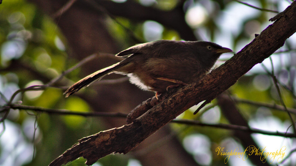 The Jungle Babbler by Sudipto Sarkar on Visioplanet
