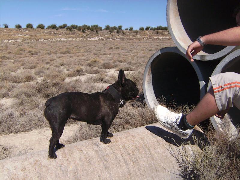 Mi Bulldog Frances - Portal PICT5265
