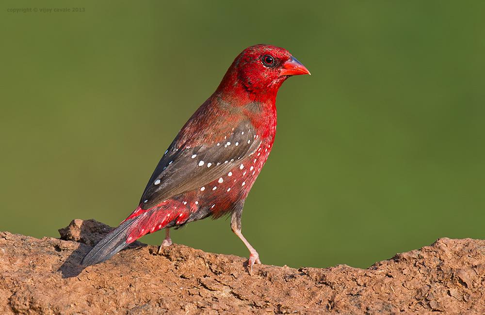 Red Avadavat (Male) * Amandava amandava * 10 cms