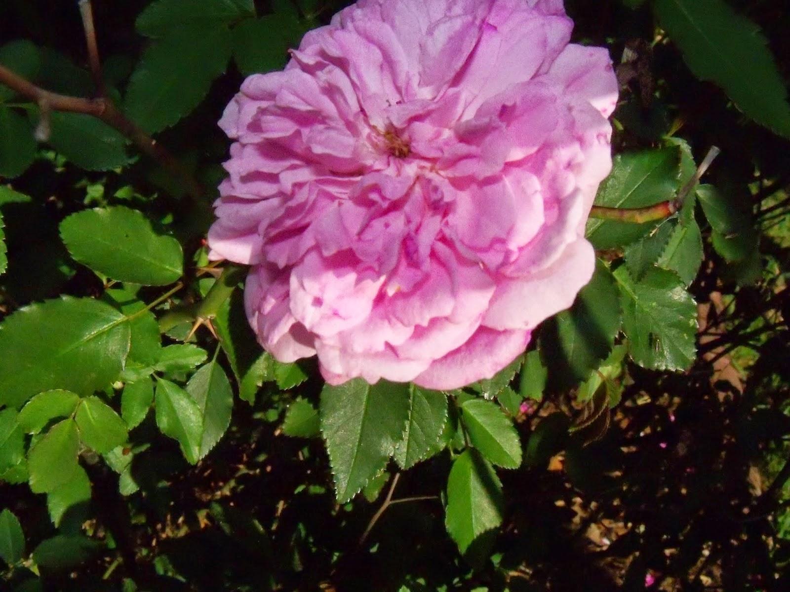 Gardening 2015 - 116_7635.JPG