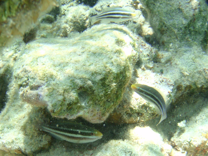 Scarus iserti (Juvenile Striped Parrotfish) near Tranquility Bay Resort.