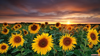 Hình nền hoa hướng dương – hoa mặt trời tuyệt đẹp