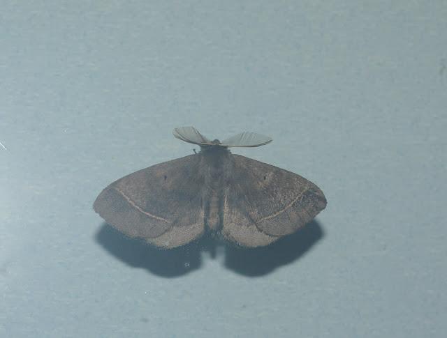 Lasiocampidae. Baisha (2500 m), 21 août 2010. Photo : J.-M. Gayman